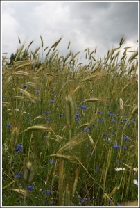 Wheat field with corn flowers